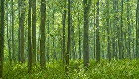 Deciduous forest rain after. Deciduous natural forest rain after with sun entering foggy forest Royalty Free Stock Image