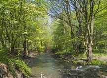 Deciduous forest river stream lush green blooming tree, spring a. Fternoon, vibrant colors Royalty Free Stock Image