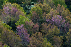 Deciduous forest, Seasonal change temperate forest concept. A colorful deciduous forest in autumn with multicolored pink orange and green foliage on the cherry Stock Photos