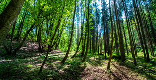 Deciduous forest. Royalty Free Stock Images