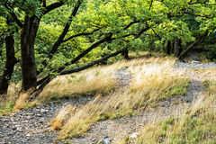 Deciduous forest in summer, dry grass and green trees Royalty Free Stock Photography