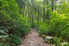 Deciduous forest in the summer. Hiking trail through a lush deciduous forest in the summer Royalty Free Stock Photo