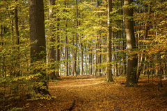 Deciduous forest on a sunny autumn day with colorful leaves on t. He trees, nature poster, background or wallpaper royalty free stock photography