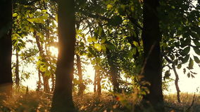 Deciduous forest at sunset stock video