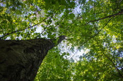 Deciduous forest, the trees on the sky background, bottom view. Deciduous forest, the trees and the leaves on the sky background, bottom view Stock Photo