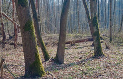 Deciduous forest trees in the spring Royalty Free Stock Images