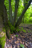 Deciduous forest Stock Images