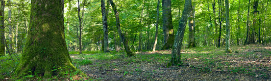 Deciduous forest Royalty Free Stock Photos