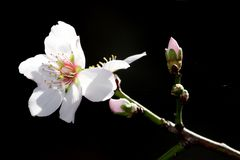 Deciduous Fruit Blossom Royalty Free Stock Photography