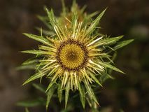 Deciduous kwiatu fo oset fotografia stock