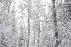 Deciduous las przy zimą zdjęcia royalty free