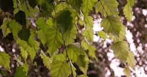 Deciduous las słońce połysk przez liści brzoza zdjęcie wideo