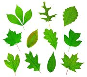Deciduous Leaf Collection. A beautiful collection of leaves from important deciduous trees of North America including (from top left to bottom right), Pignut Stock Photos