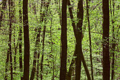 Deciduous (leaf) forest depths Stock Images