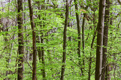Deciduous (leaf) forest depths Royalty Free Stock Images