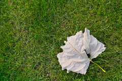 Deciduous leaf Stock Photos