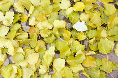 Deciduous leaves. The background of deciduous poplar leaves Stock Photo