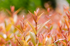 Deciduous leaves. Deciduous leaves in summer from green into red stock images