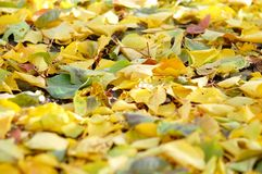 Deciduous litter from mix of fallen autumn birch and poplar leaves. Autumn background Royalty Free Stock Photography