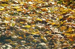 Deciduous litter from mix of fallen autumn birch and poplar leaves. Autumn background Stock Photo