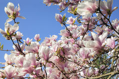 Deciduous Magnolia Tree Flowers. Deciduous Magnolia Tree with Saucer Tulip Shaped Flowers in Full Bloom During Spring Against Clear Blue Sky stock photography