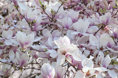 Deciduous Magnolia Tree in Full Bloom Stock Photos