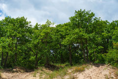 Deciduous oak forest on a hill Royalty Free Stock Photo
