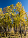Deciduous Pine Forest in Inner Mongolia. With blue sky royalty free stock image
