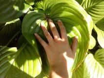 Deciduous plant - hosta. Big bush. royalty free stock photo