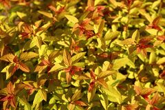 Japanese spirea is a shrub with ornamental leaves most often found in urban parks. Deciduous shrub without thorns. Leaves resemble nettle leaves. A full range royalty free stock images