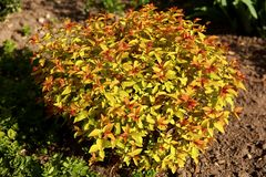 Japanese spirea is a shrub with ornamental leaves most often found in urban parks. Deciduous shrub without thorns. Leaves resemble nettle leaves. A full range stock photos