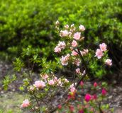 Rhododendron simsii Planch royalty free stock image