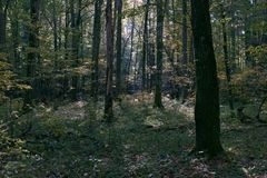 Deciduous stand in autumn mornin sunrise royalty free stock images