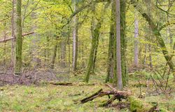 Deciduous stand in autumn morning stock photography