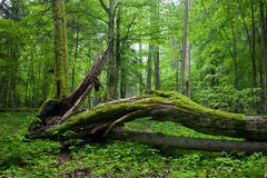 Deciduous stand of Bialowieza Forest Stock Images