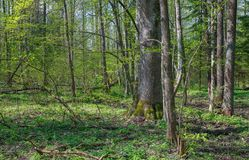 Deciduous stand at sunnny springtime day. Deciduous stand of Bialowieza Forest Landscape Reserve at sunnny springtime day with Wood Anemone floering floral bed royalty free stock photo