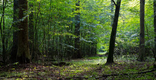 Deciduous stand of Bialowieza Forest and path Stock Photos