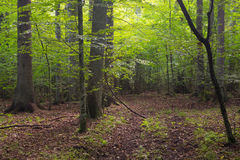 Deciduous stand of Bialowieza Forest and path Stock Image