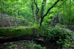 Deciduous stand of Bialowieza Forest in springtime Stock Photography