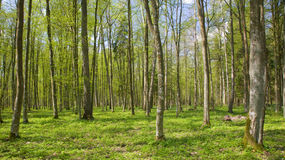Deciduous stand of Bialowieza Forest at springtime Stock Image