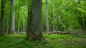 Deciduous stand of Bialowieza Forest in springtime Royalty Free Stock Photography