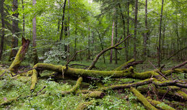 Deciduous stand of Bialowieza Forest in summer Stock Images