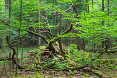 Deciduous stand of Bialowieza Forest in summer. Deciduous stand of Bialowieza Forest in springtime with partly dead broken hornbeam in foreground Royalty Free Stock Photos