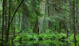 Deciduous stand of Bialowieza Forest in summer Stock Image