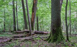 Deciduous stand with hornbeams and oak stock photo