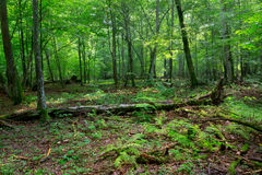 Deciduous stand in summer Stock Photography