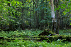 Deciduous stand in summer morning Royalty Free Stock Photography