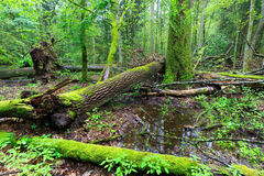 Deciduous stojak Bialowieza lasu deszcz póżniej w lecie zdjęcie royalty free