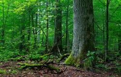 Deciduous stojak w lecie z łamanymi drzewami Zdjęcia Stock