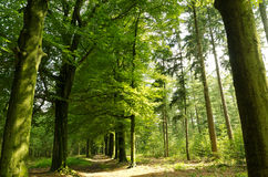 Deciduous summer forest with path Royalty Free Stock Image